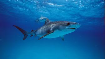 Tiger Shark (Galeocerdo cuvier), Bahama Banks