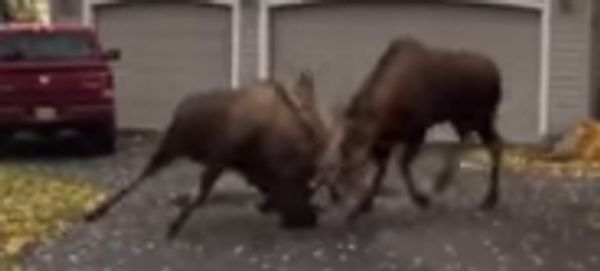 Moose Fight In The Suburbs Goes Viral