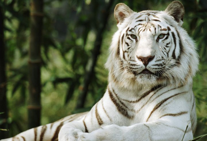 White Tigers Aren't An Endangered Species -- Or A Species At