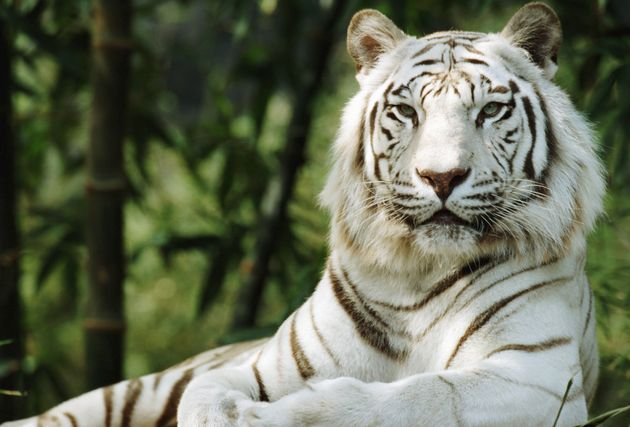 are along with white tigers endangered