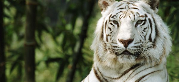White Tigers Aren't An Endangered Species -- Or A Species At All