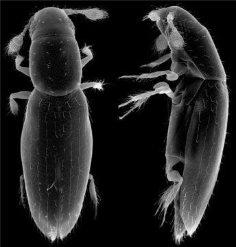 Alexey Polilov used micrographs to accurately measurethe beetle's size.