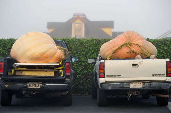 Large pumpkins sit in pickup trucks before the start of the 42nd annual Safeway World Championship Pumpkin Weigh-Off Contest