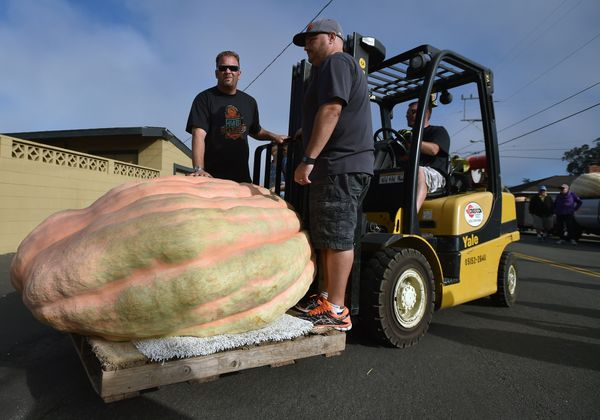 Crews use a forklift to move pumpkins to be weighed at the 42nd annual Safeway World Championship Pumpkin Weigh-Off Contest i