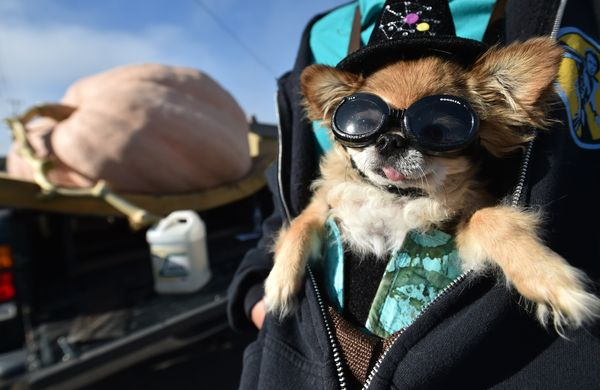 Punky, a 5-year-old long-haired Chihuahua is seen in his owner's jacket as they attend the 42nd annual Safeway World Champion
