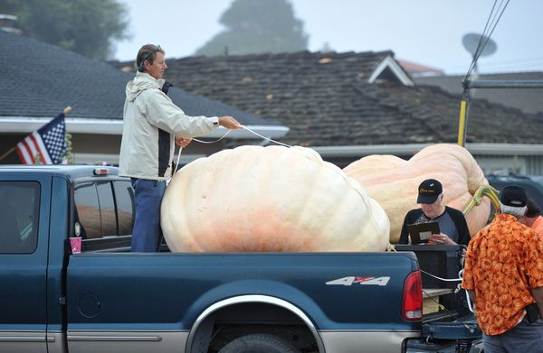 Judges and crew members measure a pumpkin during the 42nd annual Safeway World Championship Pumpkin Weigh-Off Contest in the