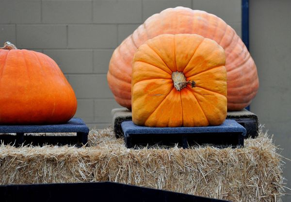 A square pumpkin is displayed during the 42nd annual Safeway World Championship Pumpkin Weigh-Off Contest in the World Pumpki