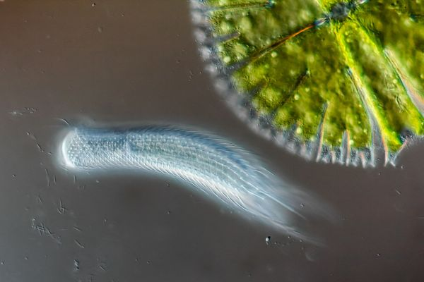 Hairyback worm and algae.