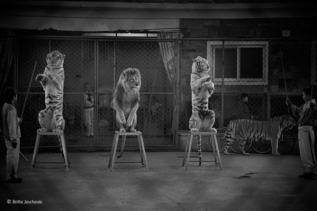 A Chinese circus displays declawed and de-toothed