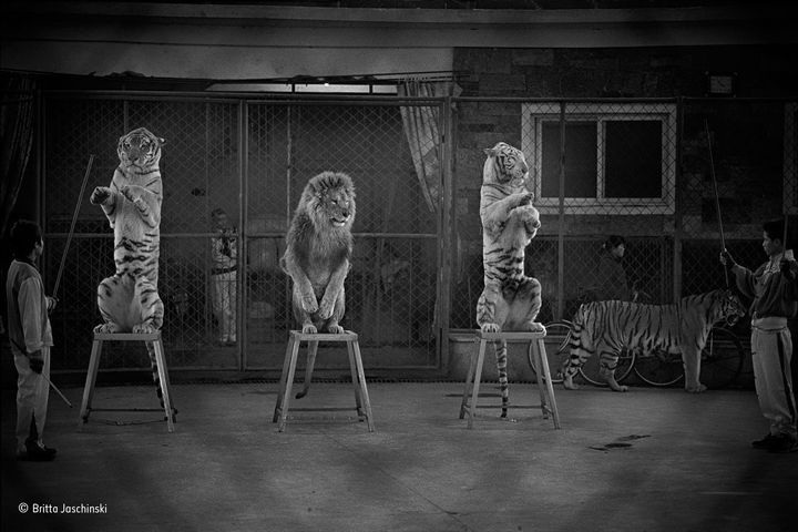 A Chinese circus displays declawed and de-toothed cats.