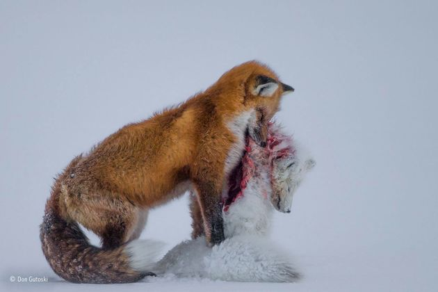 Ared fox feeds on its prey, a blood-soaked white Arctic fox, in Cape Churchill,
