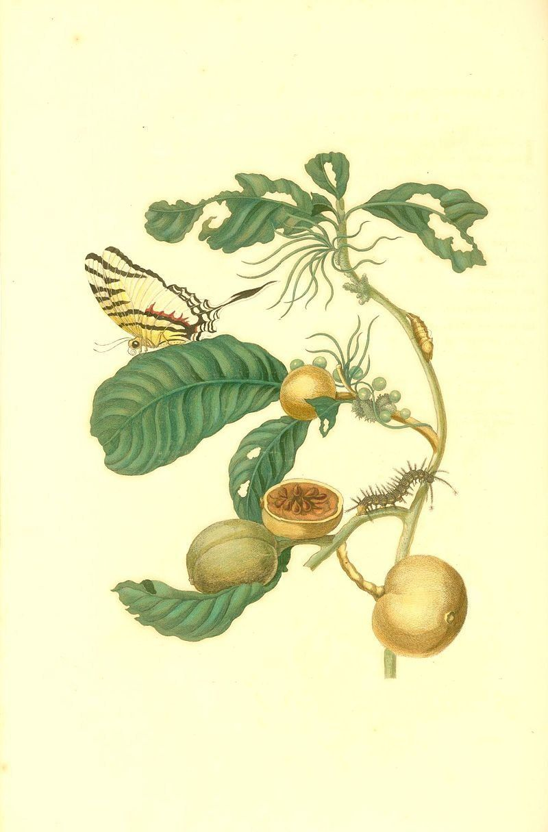 "<a href=""https://en.wikipedia.org/wiki/Maria_Sibylla_Merian"">Duroia sp. and assorted insects</a>"