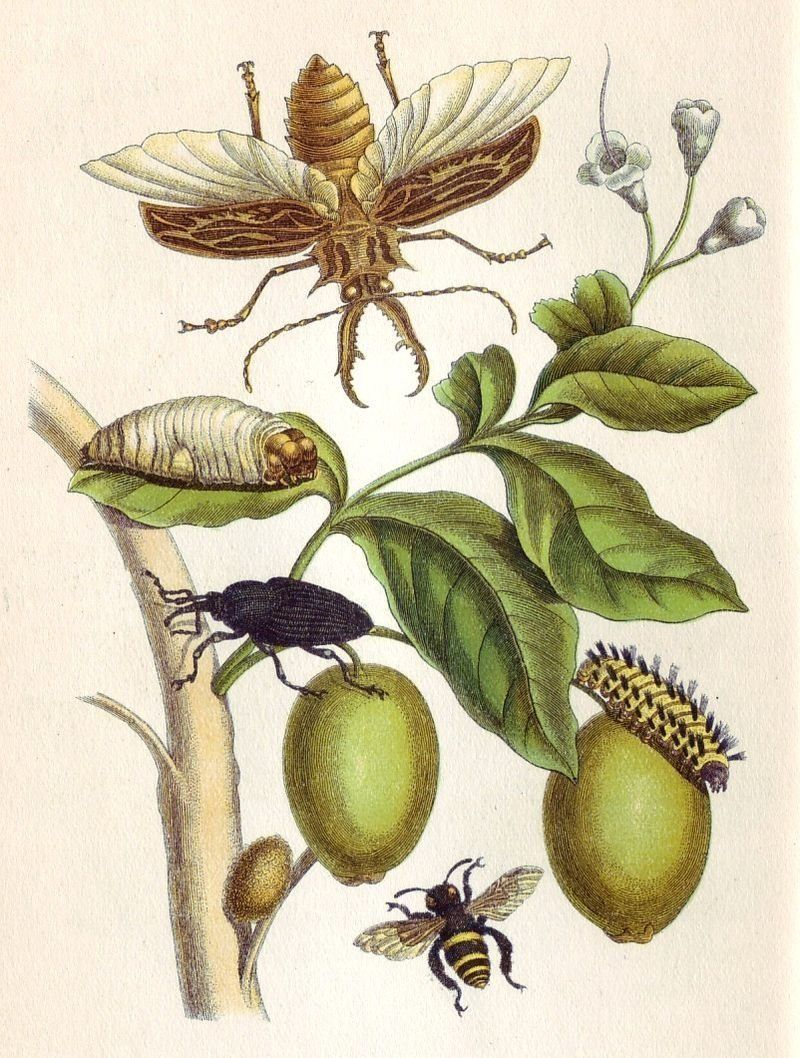 "<a href=""https://en.wikipedia.org/wiki/Maria_Sibylla_Merian"">lluminated Copper-engraving from <i>Metamorphosis insectorum Sur"