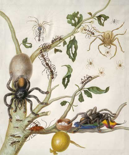 "<a href=""https://en.wikipedia.org/wiki/Maria_Sibylla_Merian"">Spiders&nbsp;</a>"