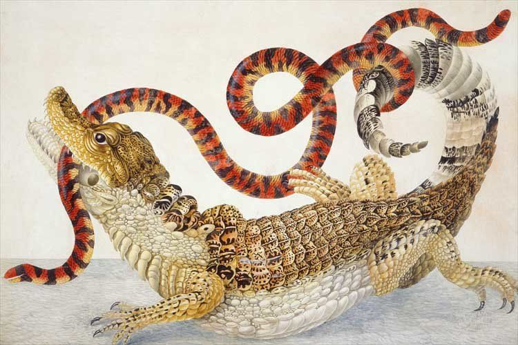 "<a href=""https://en.wikipedia.org/wiki/Maria_Sibylla_Merian"">Spectacled Caiman (<i>Caiman crocodilus</i>) and a False Coral S"