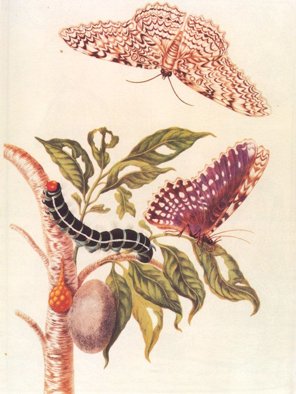 "<a href=""https://en.wikipedia.org/wiki/Maria_Sibylla_Merian"">Metamorphosis of a Butterfly</a>"