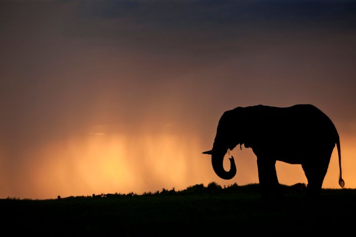 Silhouette of an elephant bull (Loxondonta Africana) at sunset with a stormy cloud in the background in the Okavango Delta in