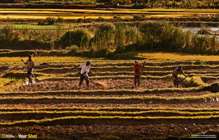 """In """"<a href=""""http://yourshot.nationalgeographic.com/profile/323671/"""">Working The Soil</a>,"""" farmers in Madagascar work the so"""