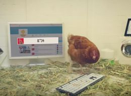 This Cluckin' Chicken Tweets, And She's Got More Twitter Followers Than You