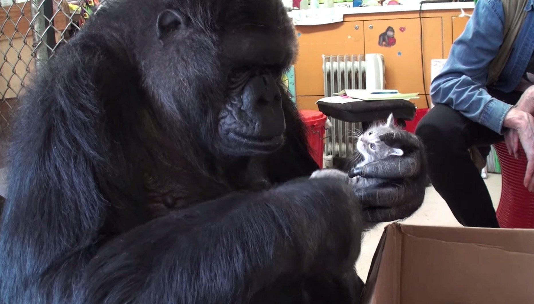 Koko and her kitten, Ms. Gray
