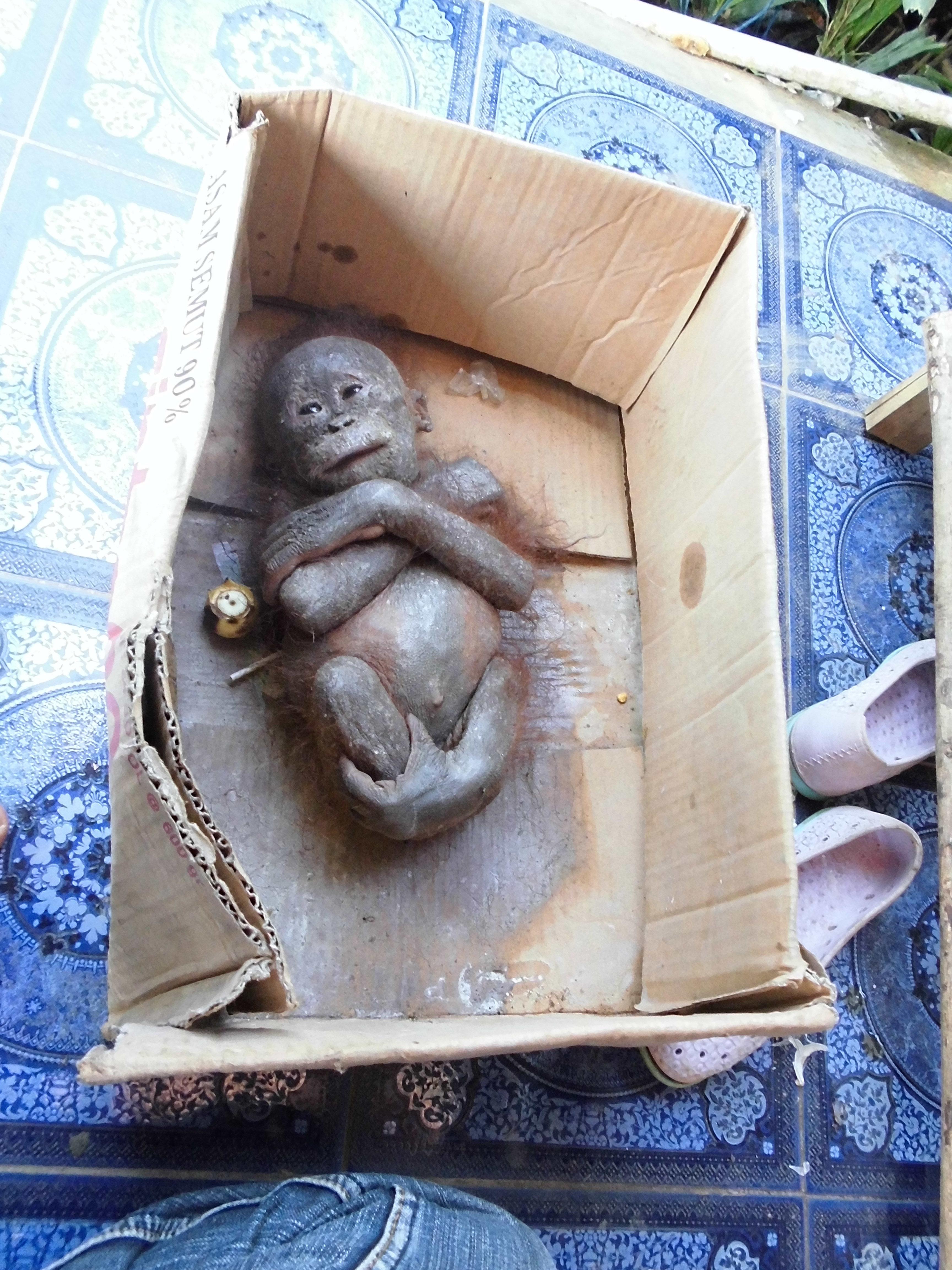 Gito, a three to four month old orangutan was found severely malnourished in a cardboard box in Hamlet Giet, Merawa Village,