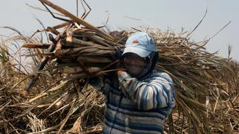 A worker hauls harvested sugar cane in the town of Chichigalpa, Nicaragua. Many of the workers in the small community have contracted chronic renal insufficiency, an illness whose cause remains a mystery.  (Photo by Roberto Koltun/Miami Herald/MCT via Getty Images)