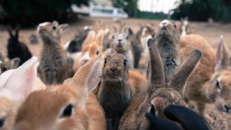 Okunoshima is an island overrun with rabbits. It has a past at huge odds with the rather cute present, as the island's main function once was the production of poison gas for chemical warfare.