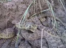 When A GoPro Camera Gets Too Close To A Rattlesnake Den