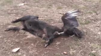 Image of vulture with head stuck up pig's butt.