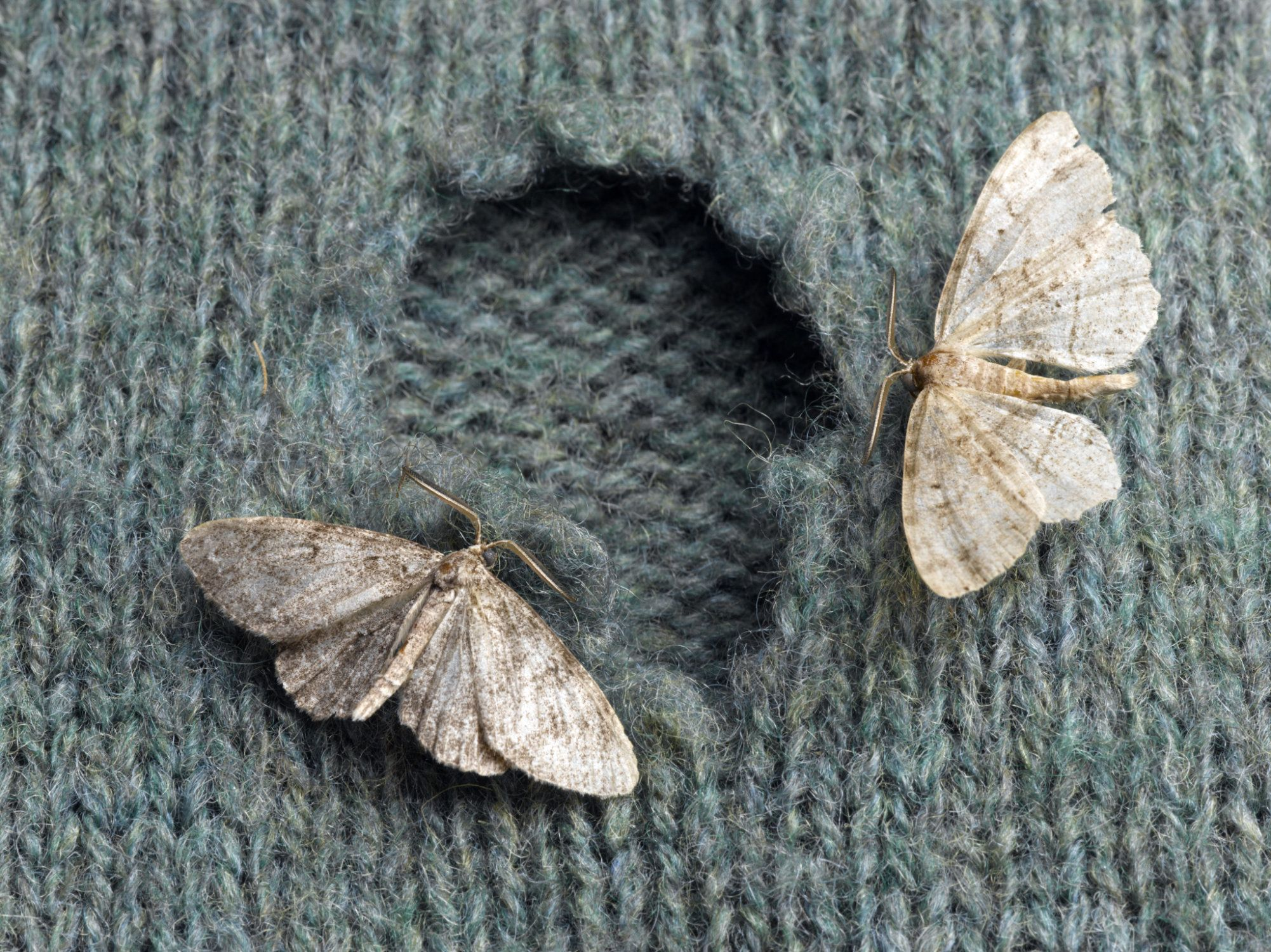 Moths on Wool Sweater