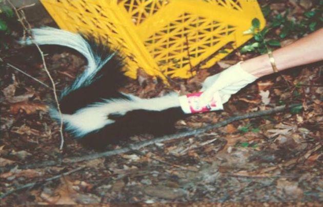 Laura Simon pulls a Yoplait yogurt cup off a skunk's head.