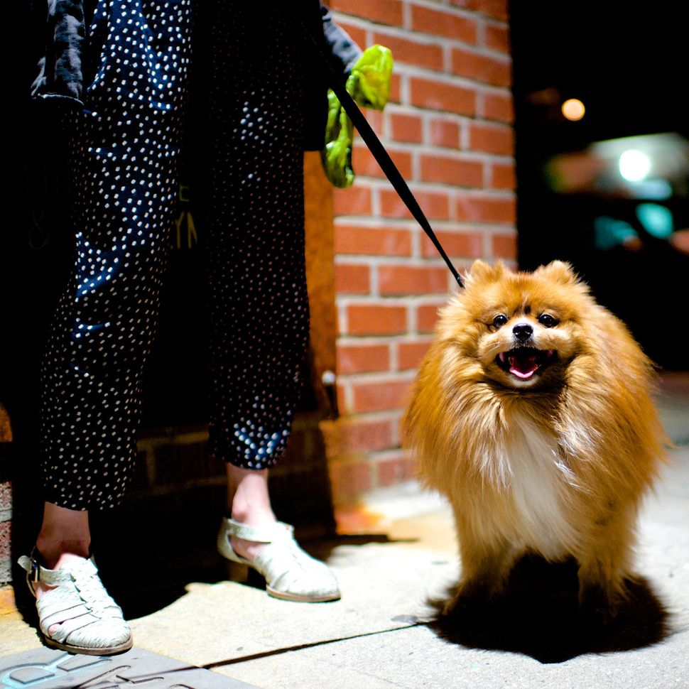 Bear, Pomeranian. Excerpted from <i>The Dogist </i>by Elias Weiss Friedman (Artisan Books). Copyright © 2015. Photo