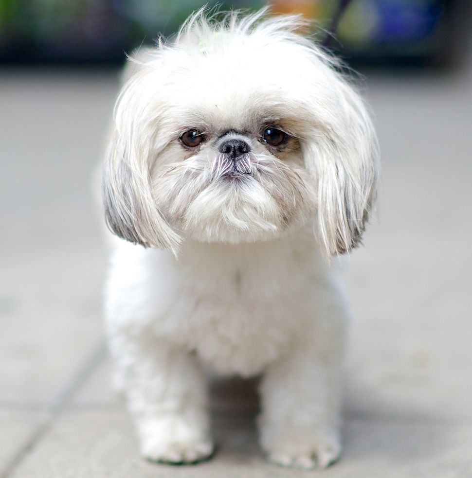 Lola, Shih Tzu<i>. </i>Excerpted from <i>The Dogist </i>by Elias Weiss Friedman (Artisan Books). Copyright © 2015.