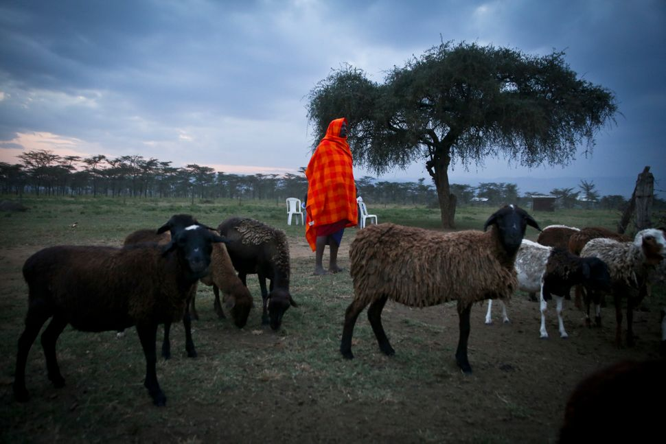 Nkika Mututua brings in his herd at sunset, near Suswa, Kenya.