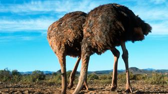 The ostrich,  Struthio camelus,  is a large flightless bird native to Africa. It is the only living species of its family,  Struthionidae and its genus,  Struthio. Ostriches share the order Struthioniformes with the Emu,  kiwis,  and other ratites. It is distinctive in its appearance,  with a long neck and legs and the ability to run at maximum speeds of about 45mph (72 km/h,  the top land speed of any bird).The ostrich is the largest living species of bird and lays the largest egg of any living bird (extinct elephant birds of Madagascar and giant moa of New Zealand laid larger eggs).The diet of the ostrich mainly consists of plant matter,  though it also eats insects. It lives in nomadic groups which contain between five and fifty birds.