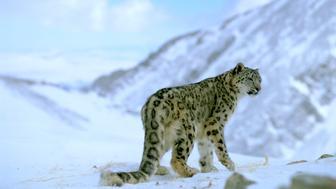Snow leopard (Panthera unica / Unica unica)