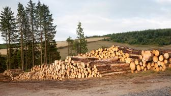 Tree felling forestry operations in Dartmoor national park, Bellever forest, Postbridge, Devon, England. (Photo By: Geography Photos/UIG via Getty Images)