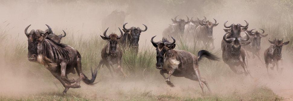 """""""Wildebeest Migration,"""" Masai Mara"""