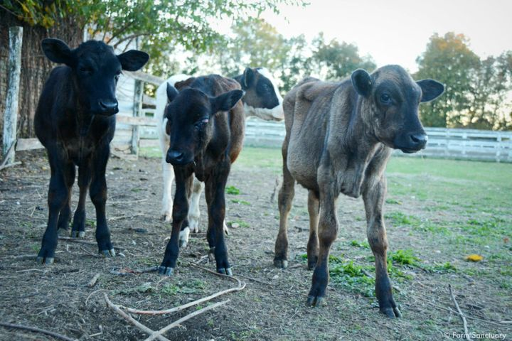 Emaciated calves rescued from the property.