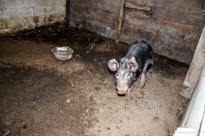 One of the pigs in his stall at the site of the rescue. None of the pigs had any access to the outdoors.