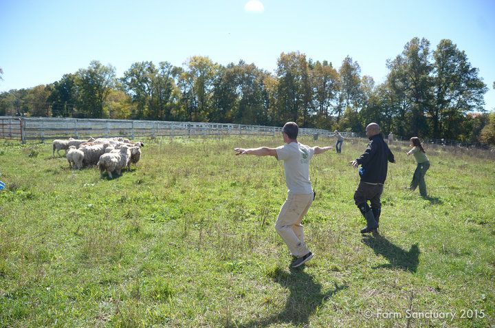 Rescuers from multiple sanctuaries work together to catch the terrified sheep and bring them to safety.