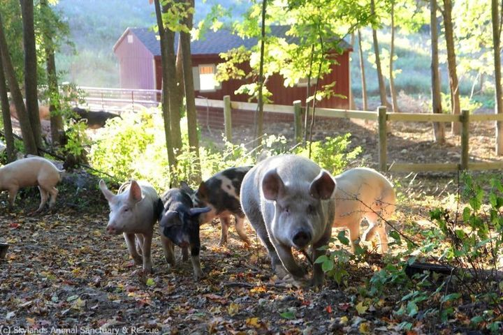 Rescued pigs in their new, temporary home at Skylands Animal Sanctuary
