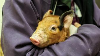 One of the piglets receiving treatment for pneumonia at our Melrose Animal Hospital.