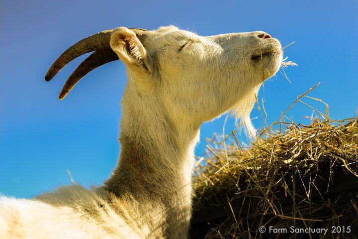 One of the rescued goats at Farm Sanctuary.