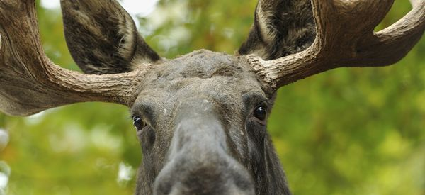 WATCH: Hungry Moose Shops For Groceries In Sarah Palin's Hometown