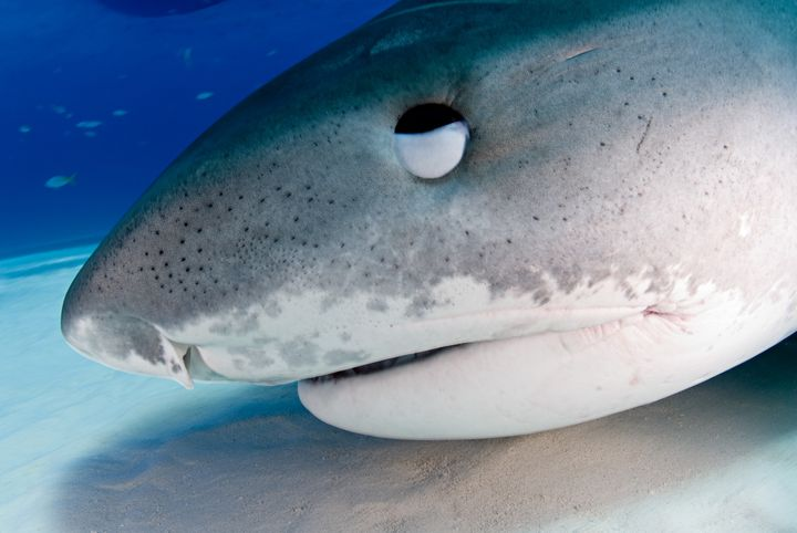 A closeup of a tiger shark in the Bahamas. Many sharks havea nictating membrane that covers and protects the eye when a