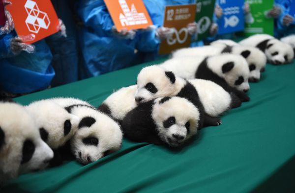 kinder panda