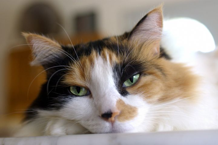 Researchers thought calico cats would be more likely to display aggression.