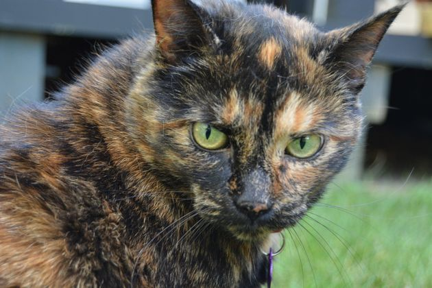 A tortoiseshell cat. Researchers found cats with this type of coloring were reported as being more...