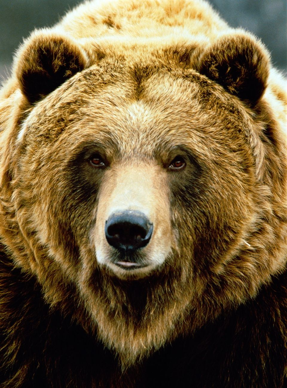 Image result for Bear